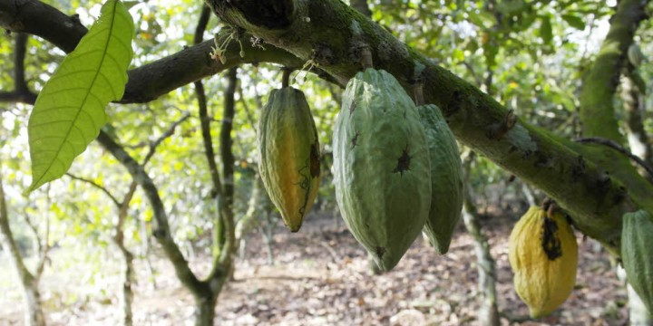 Teobroma Cacao T. - шоколадне дерево